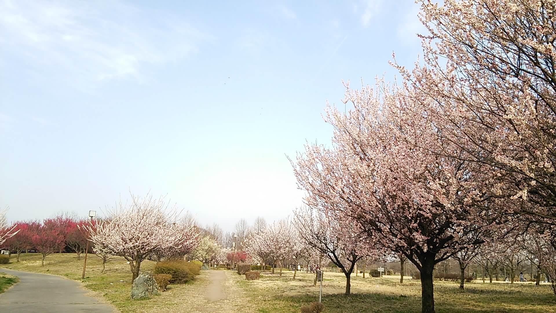 満開の桜が咲いている道