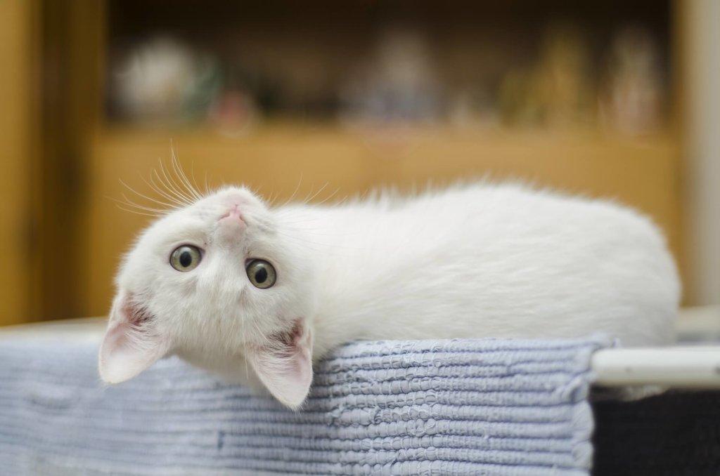 仰向けに寝ている白い子猫