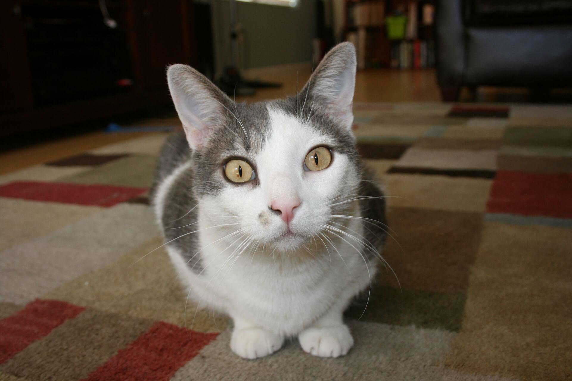 まっすぐ見つめている猫